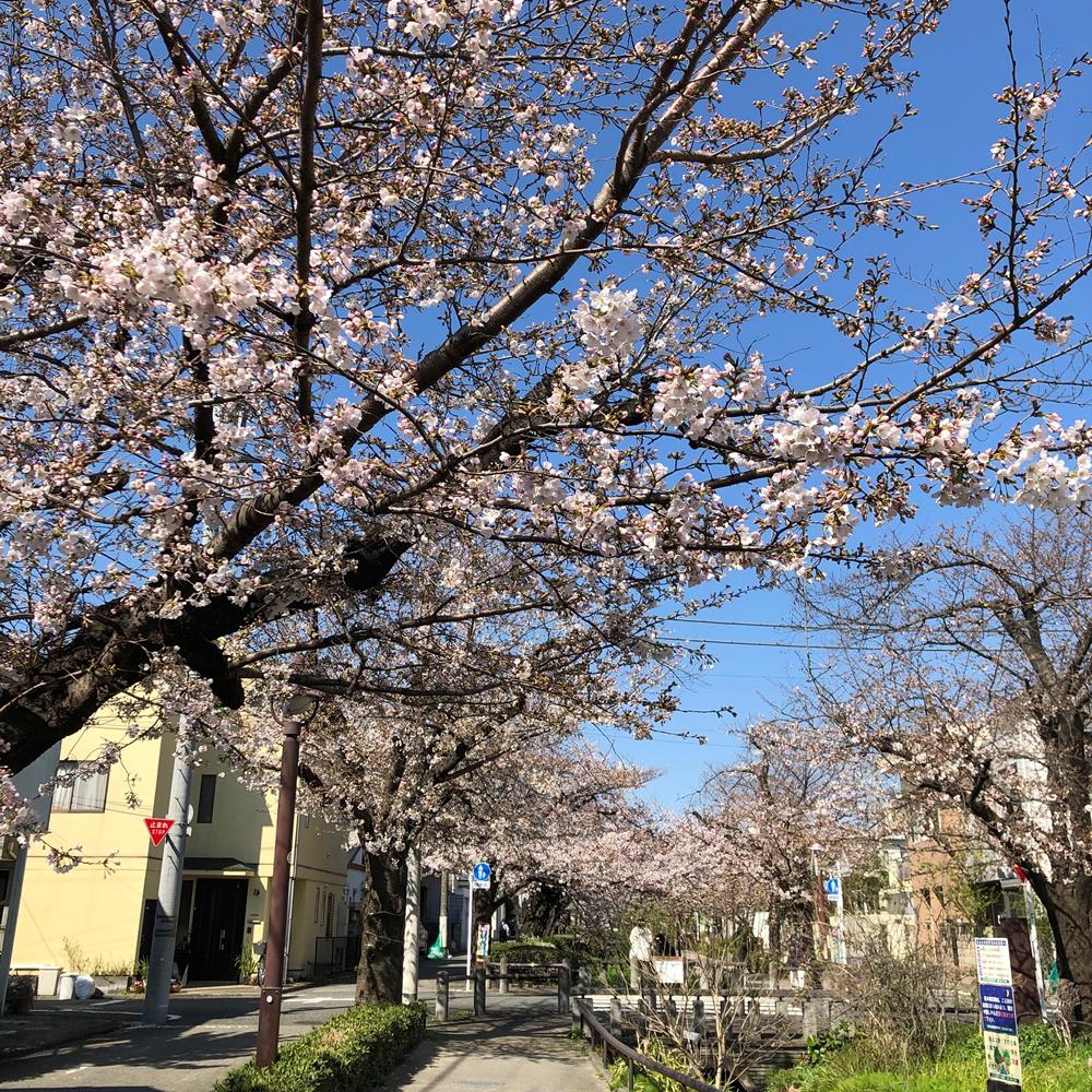 緑道の桜2