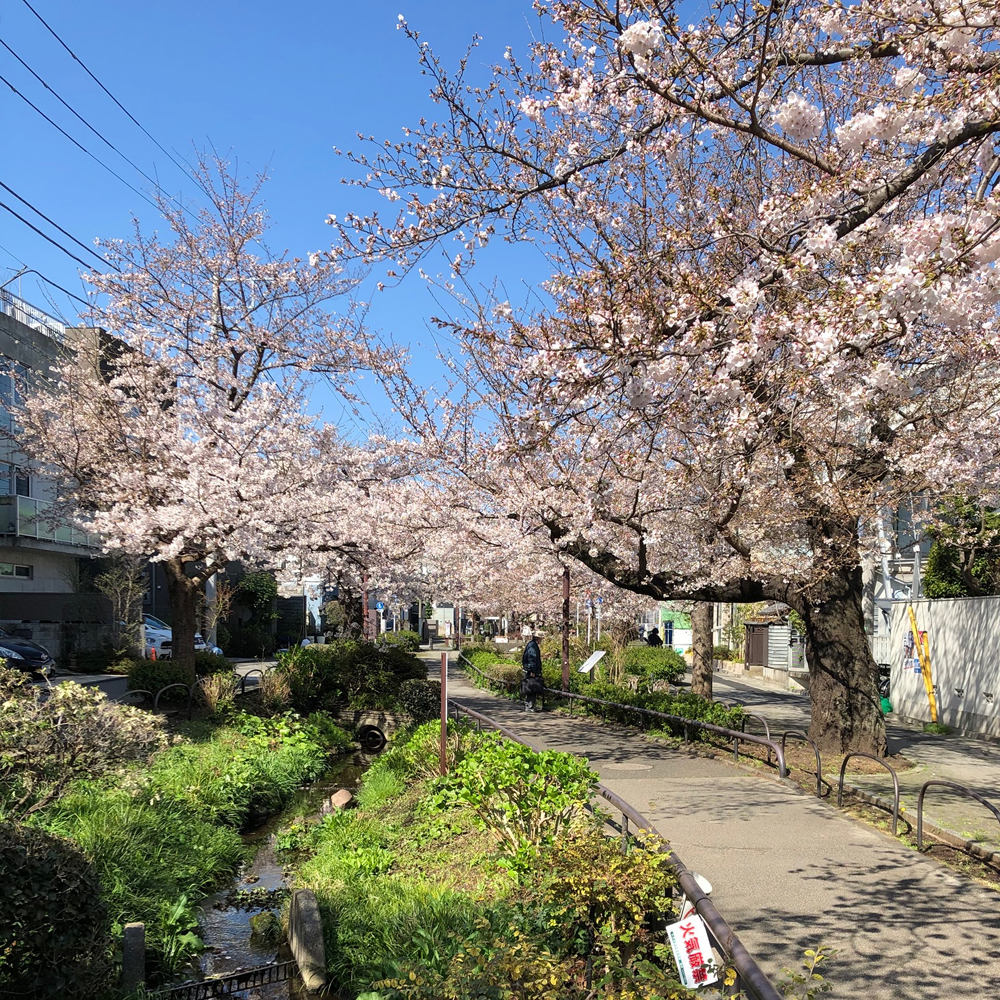 緑道の桜3
