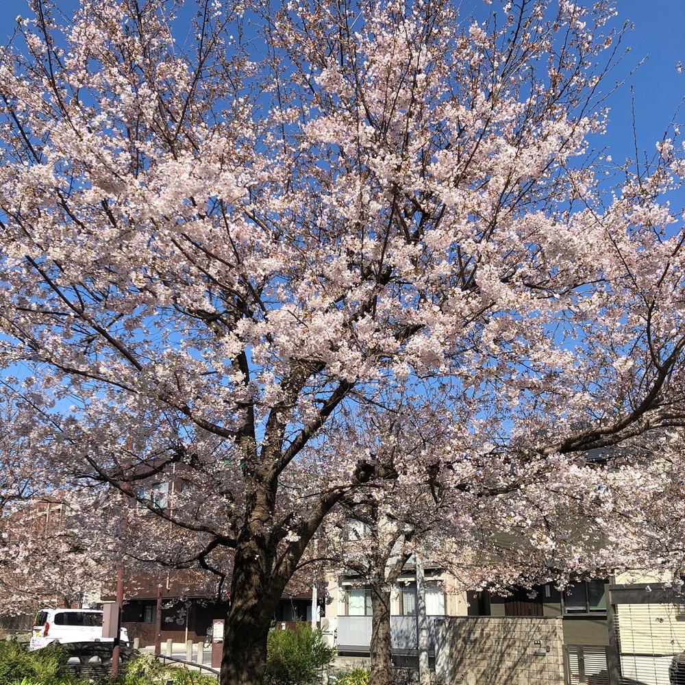 緑道の桜4