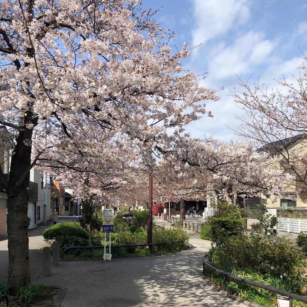 緑道の桜1