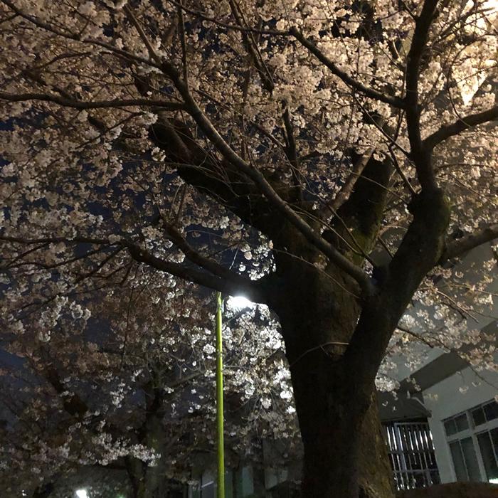コロナ禍の二度目の桜も散り際で